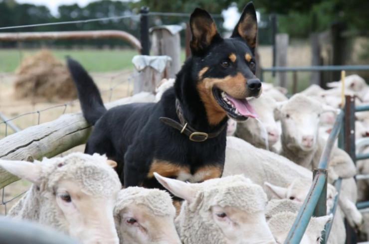 Пастушьи и скотогонные собаки, кроме швейцарских скотогонных собак