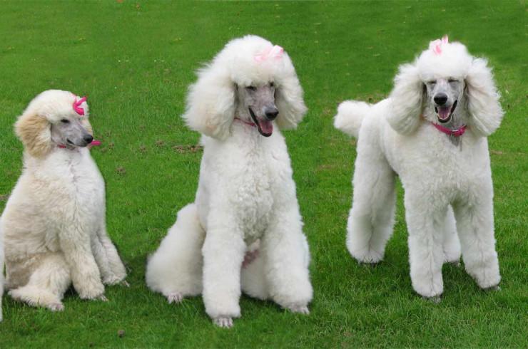 Декоративные и собаки-компаньоны