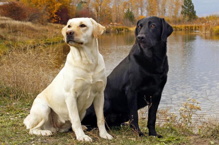 Ретриверы, спаниели и водяные собаки