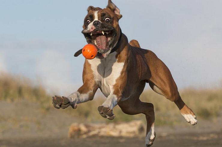 Боксер играет с мячом