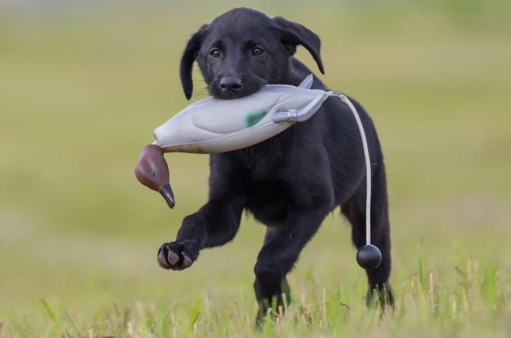Дрессировка и натаска охотничьих собак