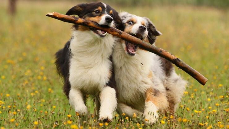 Две собаки играют с палкой