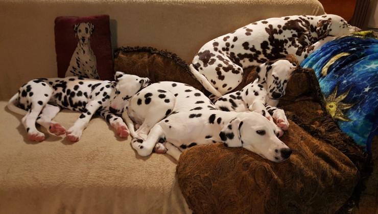 Далматинцы на диване