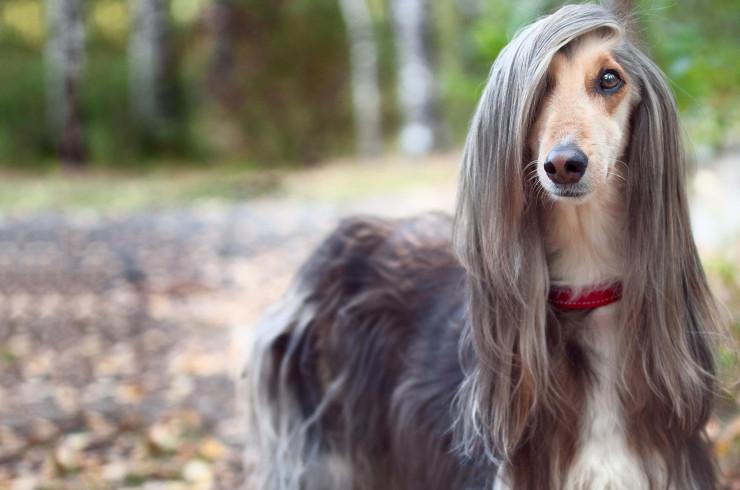Собака с длинной и мягкой шерстью