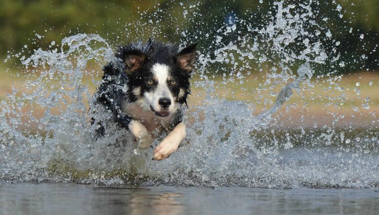 Бордер-колли бегает по воде