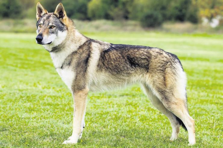 Чешский волчак