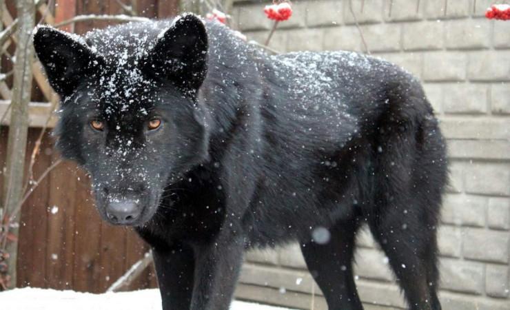Русский Волкособ