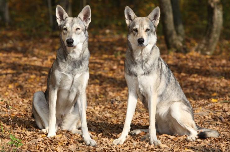 Современные породы собак с примесью волчьей крови