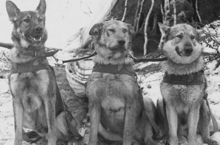 Фронтовые собаки Великой Отечественной войны