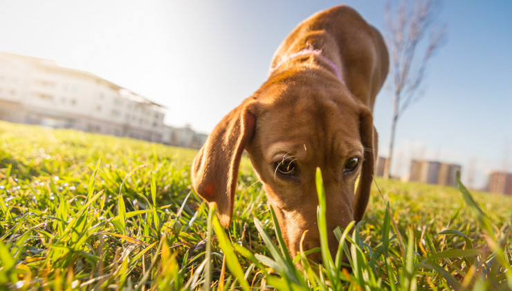 коронавирус собак