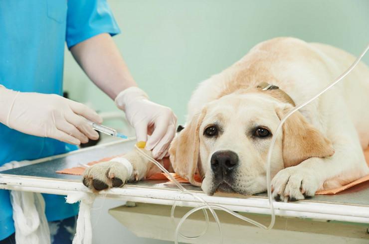 Коронавирус собак (коронавирусный энтерит): все, что нужно знать владельцу о болезни