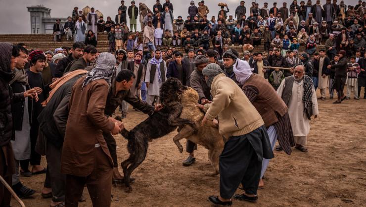 Бои собак Афганистан
