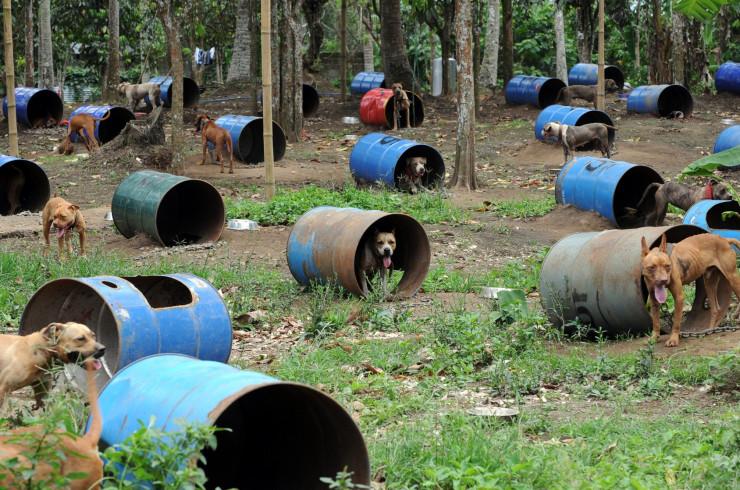 Ферма бойцовских собак на Филлипинах, 2012