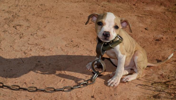Щенок для боев собак