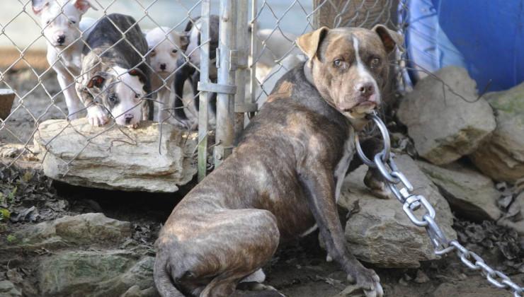 содержание бойцовских собак
