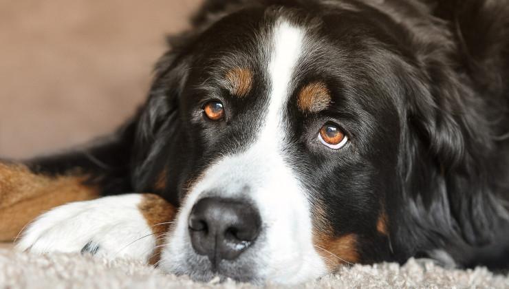 Бернская горная собака