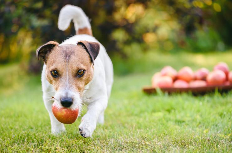собака с яблоком