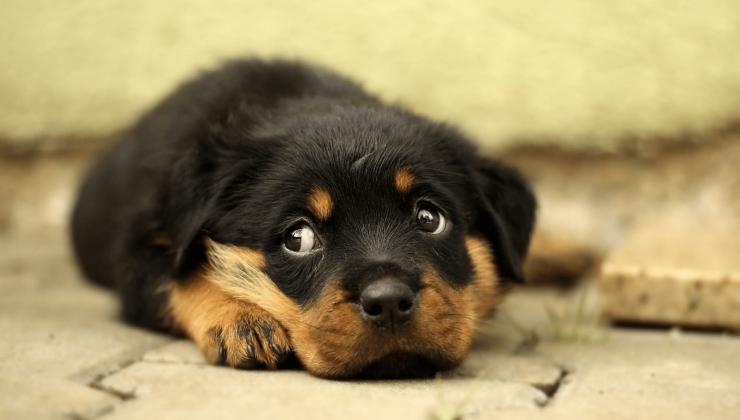 Глисты у щенка