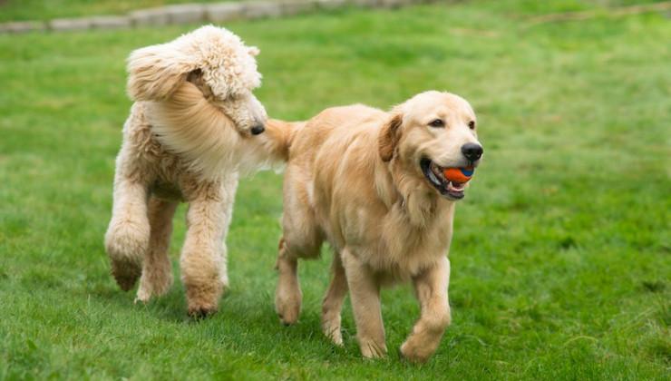 Собаки гуляют вместе