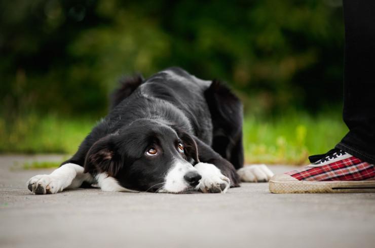 Что такое «ломать собаку»: воспитание через боль, последствия