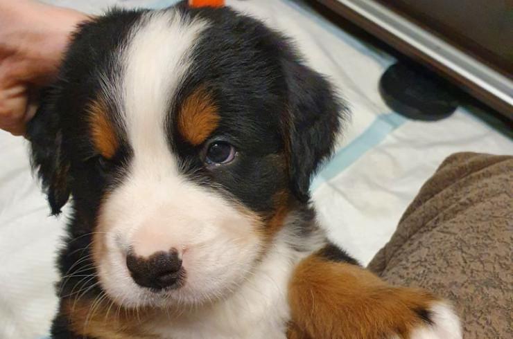 Как мы завели собаку | Блог: Бернский Зенненхунд Марс