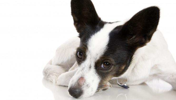 грибок у собак
