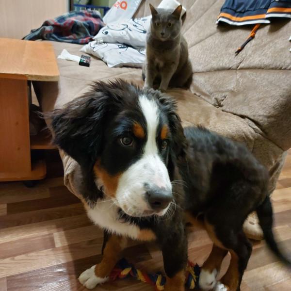 Марс Бернский Зенненхунд отношения с кошками