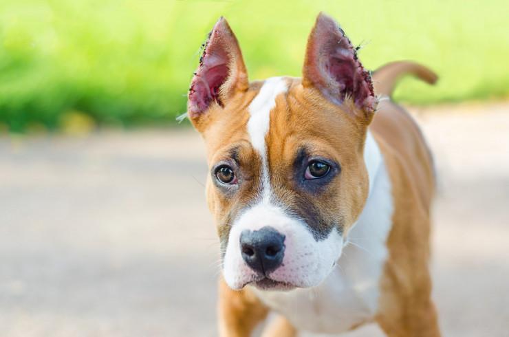 Купированная собака: эстетика, необходимость или живодерство?
