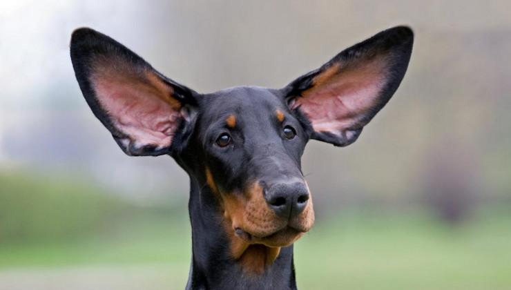 образать ли уши щенку