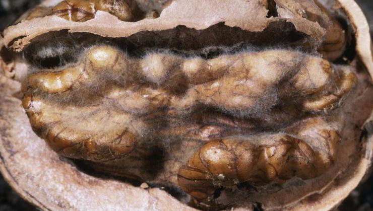 ГРецкие орехи собаке