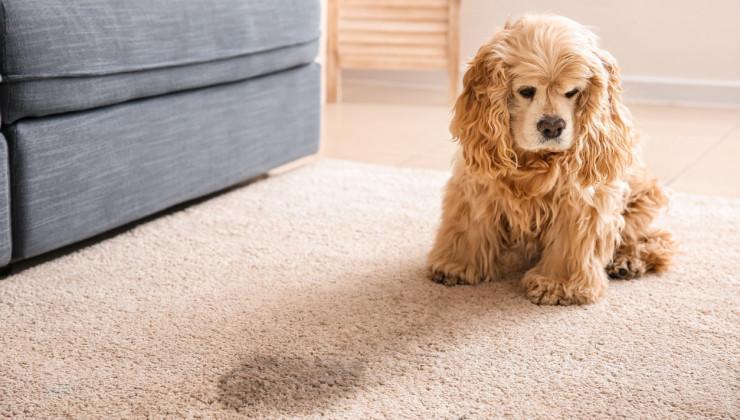 собака метит или писается