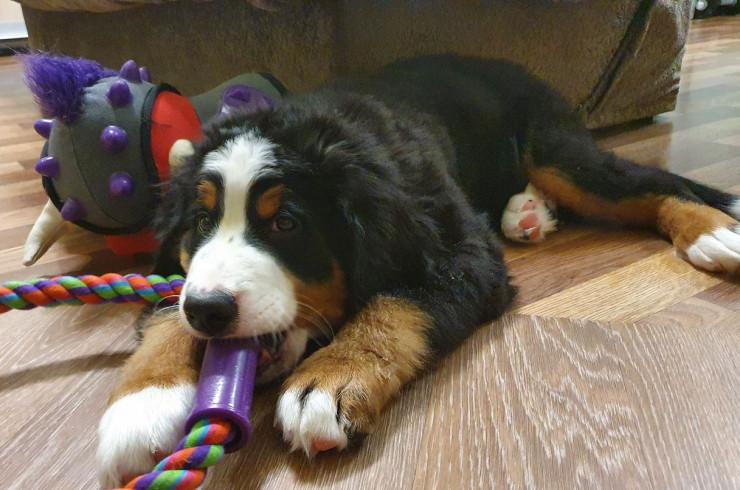 Затраты на щенка в первые пол года | Блог: Бернский Зенненхунд Марс